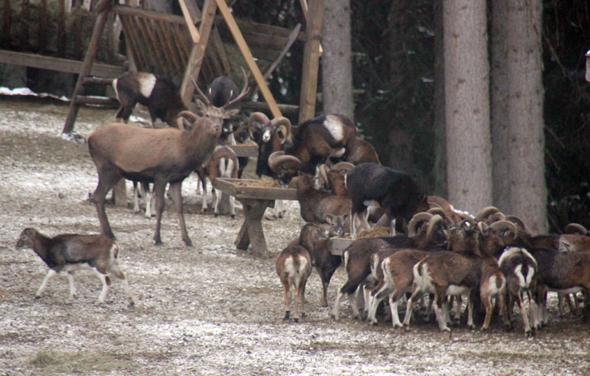 Rund 150 Tiere tummeln sich insgesamt um die verschiedenen Futterplätze. (Foto Karsten-Thilo Raab)