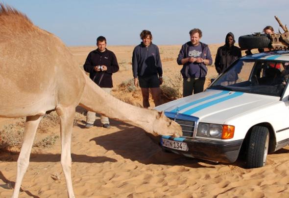 """Auch die """"Wüsteschiffe"""" nehmen die Rallye-Fahrzeuge genau in Augenschein."""