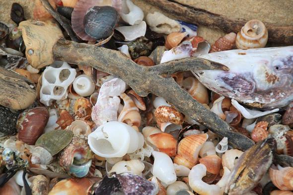 Besonders großer Beleibtheit erfeuen sich Muscheln und Muschelteile.