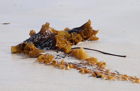 Auch Algen und Pflanzenreste finden sich nicht selten an den Stränden.