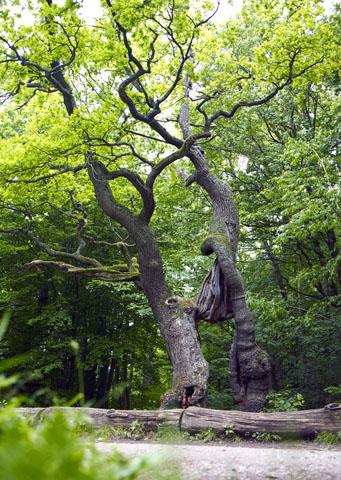 Die Betteleiche - einer der ältesten Bäume im Nationalpark Hainich - ist ein weiteres Wahrzeichen des Urwalds. (Foto: djd)