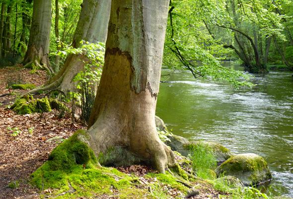 Fraßschäden an den Bäumen in Warnowtal zeugen davon, dass hier Biber heimisch sind. (Foto Martin Simon)