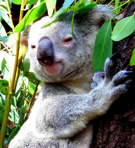 In Quuensland zuhause: Der Koalabär - das süßeste Tier Australiens. (Foto Katharina Büttel)