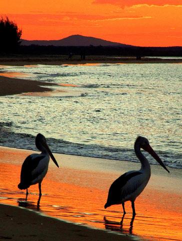 Fast kitschig schön: Brillenpelikane im Sunset vor Fraser Island. (Foto Katharina Büttel)