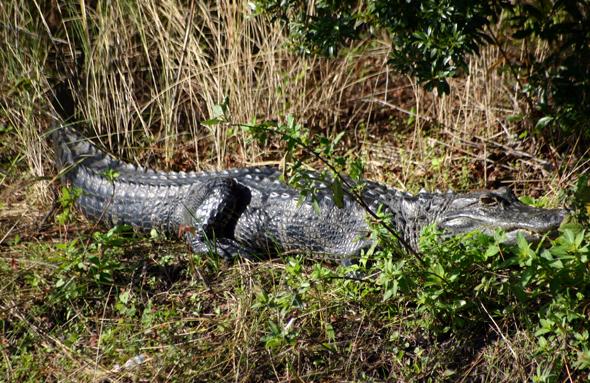 Alligatoren liegen vielerorts scheinbar friedlich im Gras herum. (Foto Karsten-Thilo Raab)