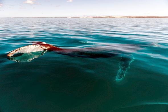 Majestätisch: ein Buckelwal vor der Küste des Dirk Hartog National Parks. (Foto Elements MR)