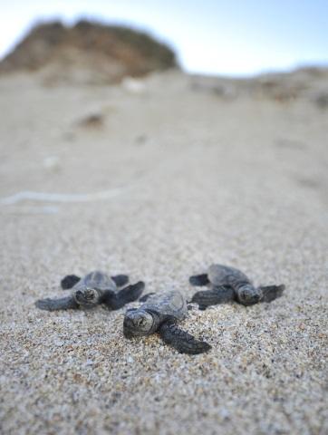 Frisch geschlüpfte Schildkröten auf dem Weg zum Meer. (Foto Chris Woods)