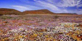 Wildblumen statt Wüste: Blütenpracht in Südafrika