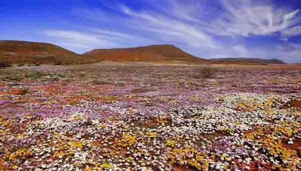 Blühende Landschaften erwarten Naturfreunde in Südafrika - wie hier in Namaqualand - zwischen Juli und September. (Foto South African Tourism)