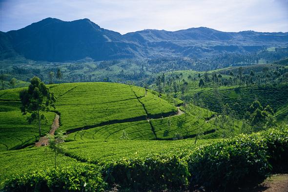 Der Anbau von Tee ist in Sri Lanka ein wichtiger Wirtschaftsfaktor.