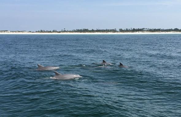 Die Chancen, große Tümmler zu Gesicht zu bekommen, sind in diesem Teil Floridas groß. (Foto Visit Panama City Beach)