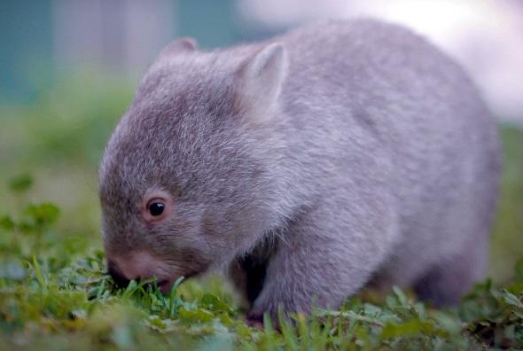 Derzeit Tasmaniens berühmtester Botschafter: der kleine Wombat Derek. (Fotos Tourism Tasmania)