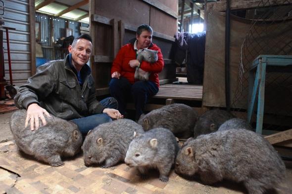 Kate Mooney kümmert sich gleich um einen ganzen Stall voller Wombats.