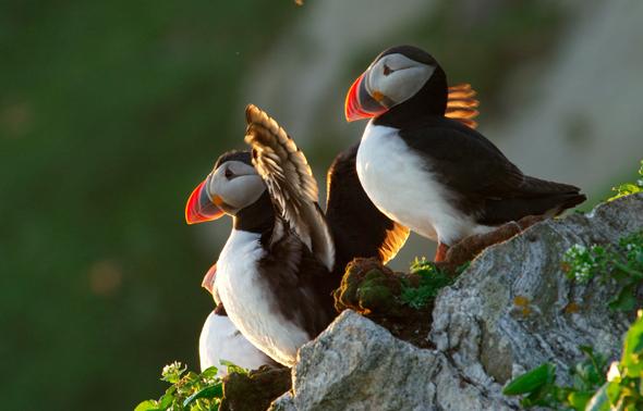Papageientaucher nisten fast überall an Nordnorwegens Küste. (Foto Asgeir Helgestad)