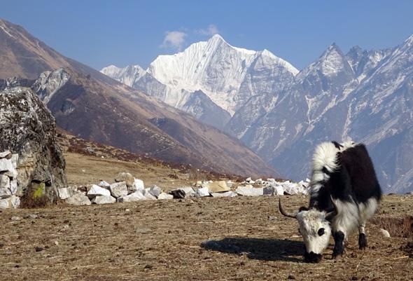 Yaks grasen an vielen Orten - sowie hier vor der spektakulären Kulisse des Gangchenpo. (Foto Sophie Streck)