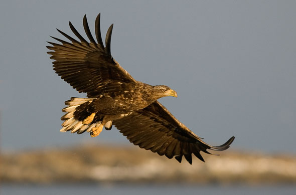 Seeadler gehören zu den gesuchtesten Vogelarten in Norwegen. (Foto Sverre Nilsen)