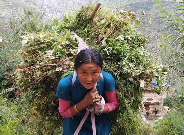 Auch das ist Nepal: eine Sherpani schwer beladen auf dem Helambu Trail unterwegs. (Foto Sophia Streck)
