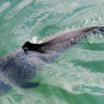Das andere Sylt – Schweinswal in Sicht