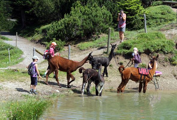 Eine Bergtour mit den Lamas und Alpakas ist ein Vergnügen für Groß und Klein. (Foto Liechtenstein Tourismus)