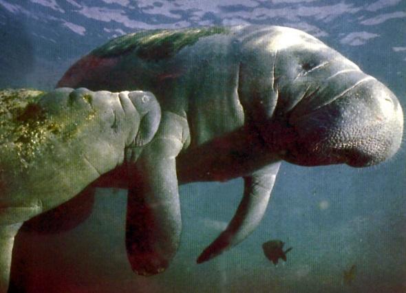 Die mächtigen Seekühe wurden früher oft für Meerjungfrauen gehalten. (Foto Visit Florida)