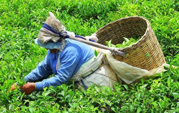 Auch das ist Mauritius: Eine Teepflückerin in den Highlands. (Foto Katharina Büttel)