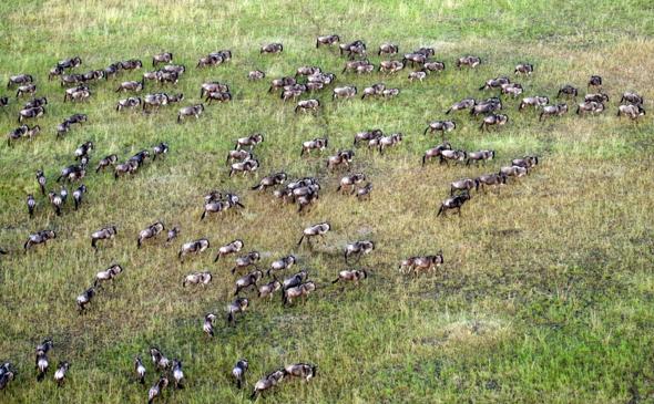 In der Masai Mara haben sich unzählige Gnus auf den Weg zu den Wassertlöchern und Weidegebieten begeben. (Foto Guido Bürger)