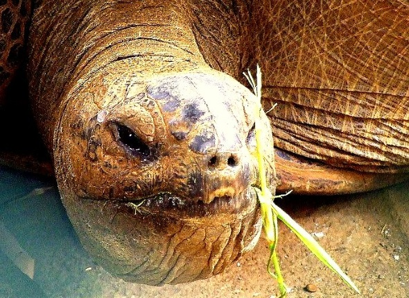 Urbewohner auf der Insel - die Riesenschildkröte. (Foto Katharina Büttel)