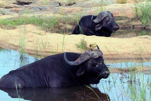 Überaus beeindruckend sind auch die mächtigen Büffel.