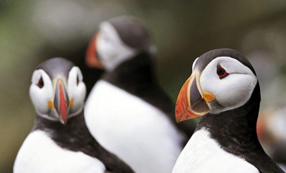 Rathlin Island ist auch für die putzigen Papageientaucher zur Heimat geworden.