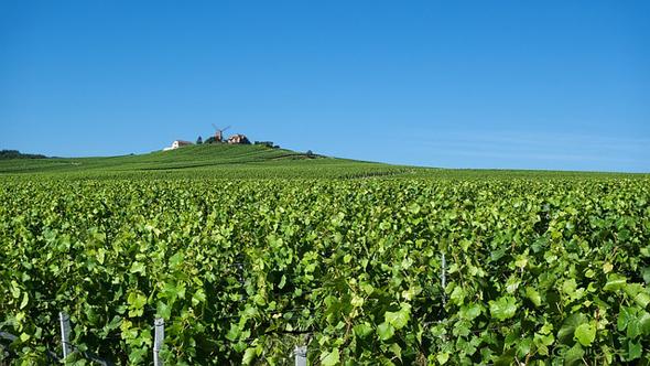 Rund um Reims genießt der Anbau von Trauben einen besonderen Stellenwert.