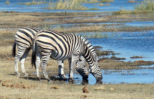 Tausende von Zebras sind in diesen Wochen in Kenia auf Wanderschaft.