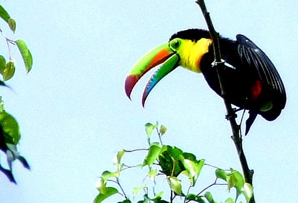 Schöne bunte Vogelwelt: ein Tukan in freier Natur. (Foto Katharina Büttel)