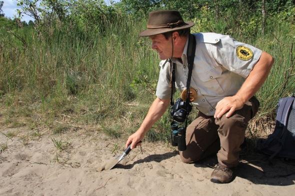 Naturpark-Ranger Jürgen Henke buddelt in den Binnendünnen. (Foto: E. Eichler)