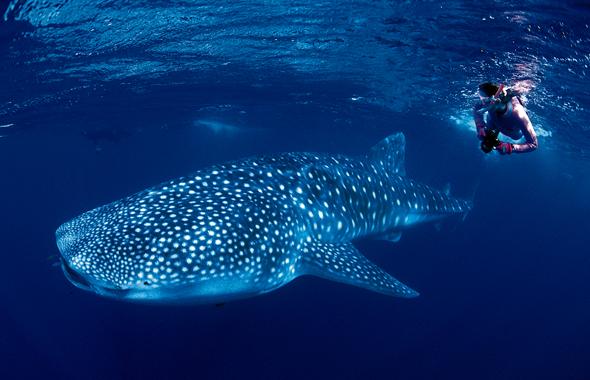Begegnungen mit Walhaien machen das Schnorcheln am Ningaloo Reef zu einem unvergesslichen Erlebnis. (Foto Tourism Western Australia)