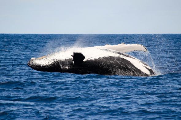 Die riesigen Buckelwale setzen nicht selten zu spektakulären Sprüngen an. (Foto Tourism Western Australia)