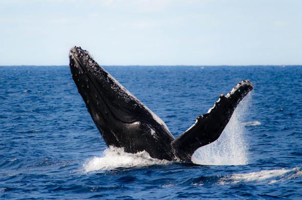 Wagemutige können nun sogar mit Buckelwalen schwimmen gehen. (Foto Tash Press)