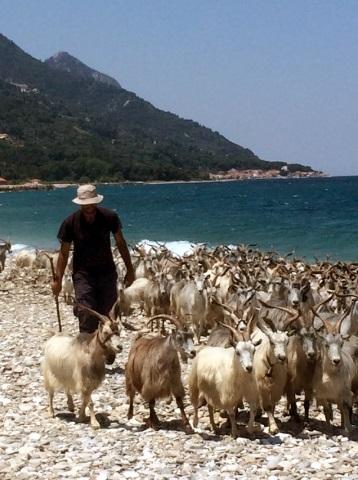 Am Strand von Svala wird fast jeden Tag eine Ziegenherde vorbeigetrieben. Ansonsten ist der Strand ruhig mit einigen wenigen Sonnenschirmen und Liegen zum leihen. Eine urige Taverne bietet hier jeden Mittag eine kleine Auswahl frisch zubereiteter traditioneller Gerichte. (Foto F.O.S. Friends of Samos)