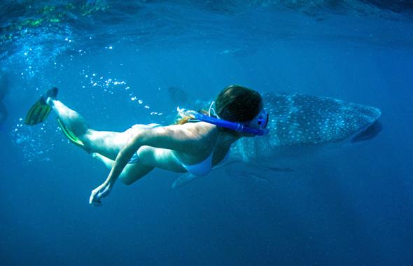 Mehr Nähe zum Walhai geht wohl kaum. (Foto Tourism Western Australöia)