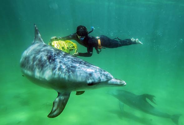 Bei Rockingham und Bunbury lässt sich die Spiellaune der Delfine sogar hautnahe erleben. (Foto Garry Norris Photography)