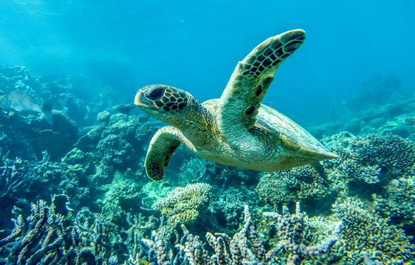 An der Coral Bay sind Begegnungen mit Meeresschildkröten keine Seltenheit. (Foto Greg Snell)