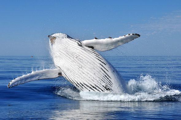 Ein gigantischer Buckelwal-Koloss verschafft sich etwas Luft. (Foto Tourism Western Australia)