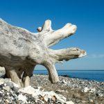 Seeigel und Donnerkeile –auf Rügen Schätze aus der Kreidezeit entdecken