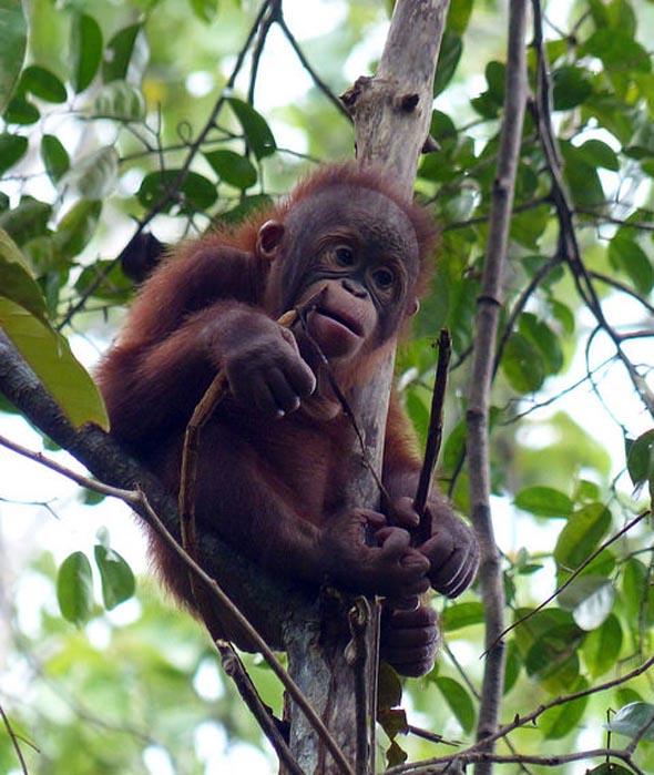 Berühmt ist Borneo auch für seine Orang Utan Population. (Foto Hasselkuss)