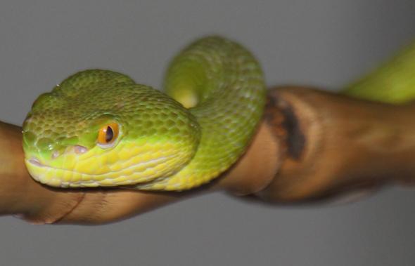 In Thailand sind über 200 Schlangenarten anzutreffen. (Foto Karsten-Thilo Raab)
