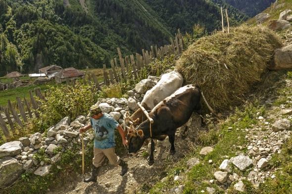 Landwirtschaft ist ein harter Broterwerb in Swanetien. Zur Heueinfahrt dienen hölzerne, von Ochsen gezogene Schleifschlitten. (Foto Jens Jäger)