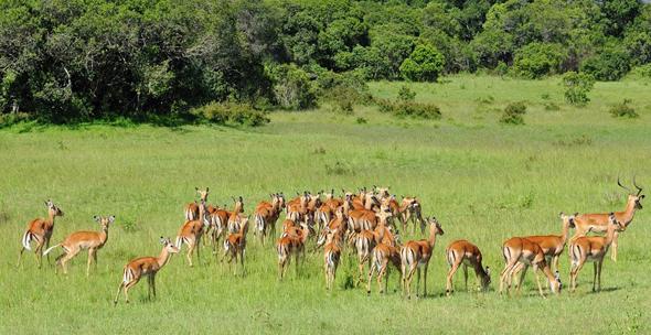 Auch die scheuen Impala-Antilopen lassen sich in Kenia aus nächster Nähe in Augenschein nehmen. (Fotos Kenya Tourist Board)