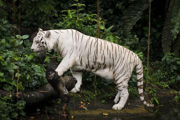 Der weiße Tiger gehört zu den Besonderheiten im Zoo von Singapur.