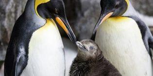 Homosexuelles Pinguin-Paar adoptiert Küken