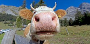 Kühen auf Wanderungen ganz kuh(l) begegnen
