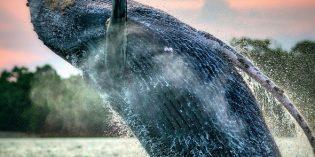 Wa(h)lheimat Panama:Der Pazifik als die große Kinderstube für Buckelwale